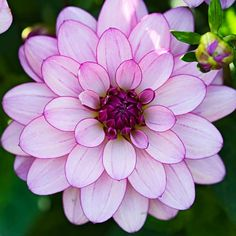 The five-foot-tall 'Lauren Michele' dahlia boasts waterlily blooms with pale lavender petals and dark undersides