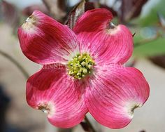 Cherokee brave flowering dogwood tree trees flowering trees find this pin and more on trees flowering trees mightylinksfo
