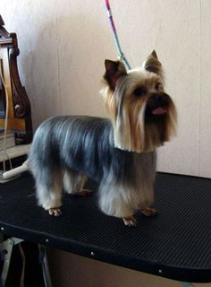 Cool Yorkie Haircut Pictures And Best Style On Pinterest Short Hairstyles Gunalazisus