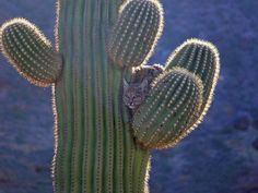 Cactus Cats A singular feline, the sand or Cactus Cat can be found in any deserted area of America possessing of sufficient numbers of cacti. Often found living in dug out dens near to cacti, Cactus. Beautiful Cats, Animals Beautiful, Cute Animals, Cacti And Succulents, Cactus Plants, Cactus Decor, Cactus Cat, Crazy Funny Pictures, Desert Life