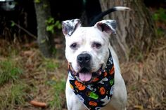 KILLED!!! SHAME NY  MESI - A1053859 - Staten Island - Rescue Only TO BE DESTROYED 10/24/15 ** FRIENDLY AND WELL BEHAVED ** People leave animals at the ACC of NYC for various reasons, Mesi lost his home due to a move by his owner to a place that does not permit animals. The owner left a treasure, a Pitty Dalmation mix that has love in his heart and cannot understand why he is at the ACC. Mesi is a loyal guy, just four years old that obeys and always tries to please. A