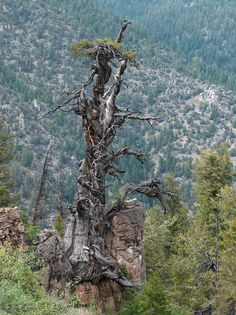 Utah's oldest Tree. Jardine Juniper. Logan Canyon. Over 3,200 years old.
