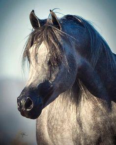 Malik El Jamaal (US) Previously H Pyndar El Ludjin H. 2010 Polish-related Grey Stallion. Ludjin El Jamaal {Ali Jamaal x Lydira El Shaklan by El Shaklan} x Pinga {Gazal Al Shaqab x Pilar by Fawor} Bred by Hennessey Arabians LLC, FL, USA. Owned by Al Jood Stud, Doha, Qatar.