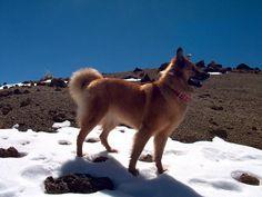 PASTOR GARAFIANO/GARAFIANO SHEPHERD - dogs in the snow