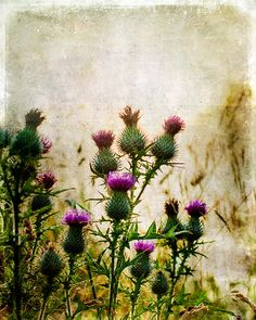 Schottische Disteln, David Mould Source by Tatoo Floral, Scottish Flowers, Botanical Illustration, Trees To Plant, Flower Power, Beautiful Flowers, Watercolor, Drawings, Artist