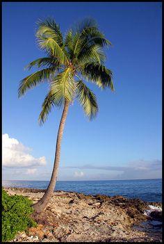 Palm Tree in Nassau, Bahamas