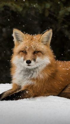 Nature Animals, Animals And Pets, Fox In Snow, Fox Stuffed Animal, Fox Painting, Fox Pictures, Photos Hd, Animal Wallpaper, Wallpaper Lockscreen
