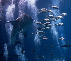 Whale shark Flick - Jeff Milsteen Pinned from Jasminka J Underwater Creatures, Underwater World, Underwater Photography, Animal Photography, Werner Herzog, Georgia Aquarium, Ocean Life, Marine Life, Sea Creatures