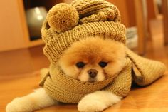 People who buy Teacup Teddy bear puppies are very popular than ever. It is not about the popularity it also about how cute such puppies are. You cannot blame them for such cuteness and you might al… Boo The Cutest Dog, World Cutest Dog, Cutest Dog Ever, Teddy Bear Puppies, Cute Puppies, Cute Dogs, Dogs And Puppies, Doggies, Baby Puppies