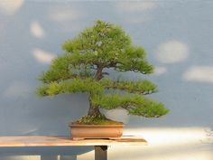 Pinus densiflora  Style Informal Upright  by Brooklyn Botanic Garden, via Flickr