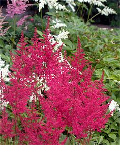 Known best for their colorful flower plumes, many of the newer astilbe varieties also have showy foliage that may be bronze, pale green, blue green, dark green or wine red. Garden Landscaping, Outdoor Gardens, Shade Plants, Shade Garden, Garden Supplies, Lawn And Garden, Perennials, Plants, Shade Flowers