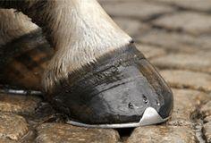 Segui i consigli di #TerradiCuma per donare al tuo #Cavallo zoccoli forti e puliti!   #HorseLove #EquineCare #Cavalli #cavallosportivo