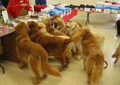 A group of goldens shopping for some treats.....