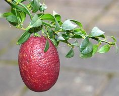 Australian Blood Lime is a hybrid citrus fruit, a cross between the red finger lime and the Ellendale Mandarin