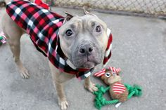 """TOASTY - A1100229 - - Manhattan  Please Share:TO BE DESTROYED 12/29/16 **ON PUBLIC LIST** A volunteer writes: 'Tis the season to be jolly. To make merry. To be warm and…""""TOASTY!"""" Sorry, I can't help but blurt out his name the moment I spot that adorable face. Like the petite Pittie version of lovable E.T., Toasty has a face only a mother — and literally everyone else — could love. There's a harsh chill in the air as we we head"""