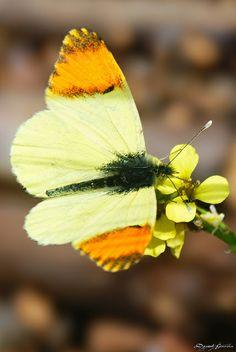 Anthocharis belia euphenoides by lagunadani, via Flickr