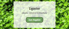 die besten 25 liguster hecke ideen auf pinterest liguster pflanzen liguster und red robin hedge. Black Bedroom Furniture Sets. Home Design Ideas