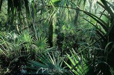 Palmetto Trees - Click to Zoom!