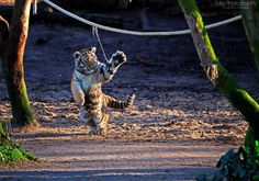 alltiger:Playing tiger cub by Mias-Photography by alltiger