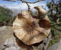 Pterocarpus Angolensis       Seedpod           Kiaat         Kiaat/ Blordhout         16-20 m         S A no 236     : Photo: Geoff Nichols