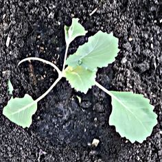 koolrabi, kohlrabi (π) Plant Leaves, Plants, Plant, Planets