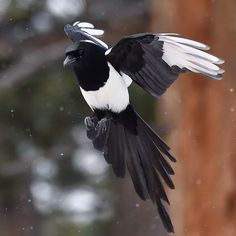 Last week was a sneak peak of winter for me, seeing a couple hours of flurries leaving me wanting more. Caught this in flight in the lower meadows of in a little outing with and Pie Bavarde, Fantasy Book Covers, Birds And The Bees, Crows Ravens, Rocky Mountain National Park, Cute Funny Animals, Wild Birds, Beautiful Birds, Birds In Flight