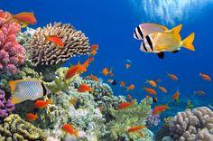 Tropical Fish on Coral Reef puzzle en Sous les mers puzzles sur TheJigsawPuzzles.com. Jouez en plein écran, découvrez le Puzzle du jour et des milliers d'autres.