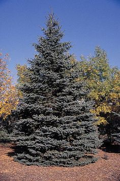 Blue Spruce P. pungens is a medium-sized coniferous evergreen tree growing to Blue Spruce P. Hells Kitchen, Evergreen Trees, Trees And Shrubs, Layout Design, Blue Spruce Tree, White Spruce, Spruce Pine, Types Of Christmas Trees, Xmas Trees
