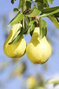 This is a guide about caring for a pear tree. Growing your own fruit trees can be very rewarding, but there may be questions and concerns on appropriate care along the way.* need for pear tree out front, pin now read later*