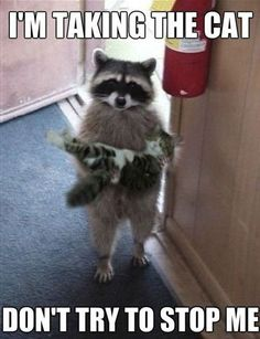 Raccoons are so adorable and I love it when they act like people! Look at this little guy carrying a kitty!