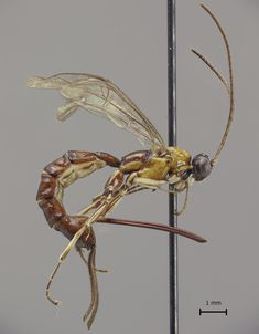 The Clistopyga crassicaudata parasitoid wasp recently discovered in the Amazon has an oversized stinger.