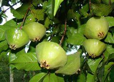 Oltre 1000 idee su alberi da frutto per giardino su - Piante mediterranee da giardino ...