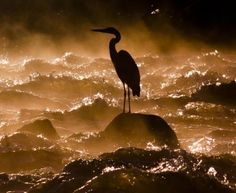 """Solitary Predator"" ethereal silhouette of great blue heron at daybreak,as it waits for any passing fish amongst misty rapids. Location: Wisconsin River, Sauk County, Wisconsin - © Conor Ryan  (National Geographic 2011 Photo Contest)"