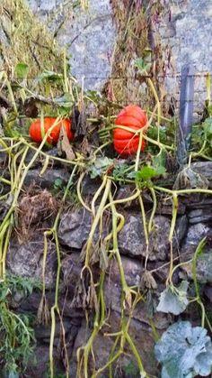 pumpkins on the camino,,,Galacia 2014