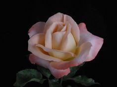 Joyfulness rose (mum's recommendation)