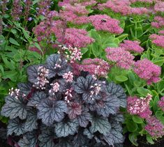 black coral bells - planted in Fall 2012 in two front beds. Doing pretty good. Still small. I think they need a little more light?