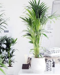 The Grand Dubai Indoor Kentia Palm Plant is a striking addition to any home or office, arriving to you nearly tall the Grand Dubai's vibrant green sprawling leaves add character and depth to any beautiful space - home or office. Small Indoor Plants, Artificial Plants And Trees, Artificial Plant Wall, Artificial Flowers, House Plant Care, House Plants, Decoration Plante, Palm Plant, Office Plants