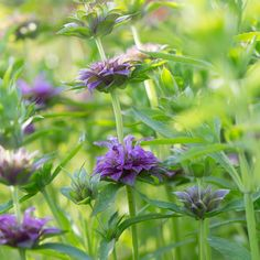 One of the most fragrant, easy to grow and abundant summer foliage plants, this handsome variety features tall, deep purple stems, glossy bicolor plum-veined leaves and brilliant amethyst flower spikes. Flower Farm, Foliage, Foliage Plants, Attracting Beneficial Insects, Flower Spike, Bee Balm, Plants, Types Of Plants, Magical Garden