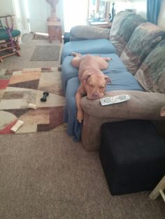 Chaos guarding the remote. Watching pitbulls and paroles.