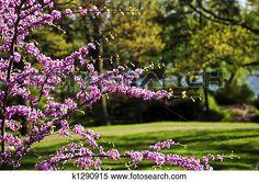 florecer, cerezo, en, primavera, parque Ver Imagen agrandada