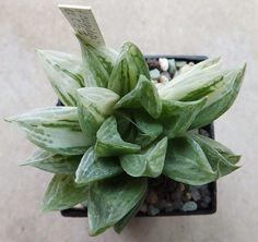 Haworthia cuspidata variegated. ex.C.Grootscholten. III.2013.