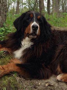 #Lostdog 7-2-14 #Rockingham #VT #BerneseMountainDog 9 year old female  215 Hall Bridge Rd Rt 121 802-779-4678 https://m.facebook.com/story.php?story_fbid=586337254816863&substory_index=0&id=198608766923049