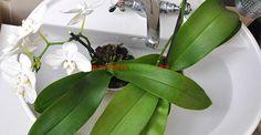 Cum se provoacă o nouă înflorire la orhidee | Paradis Verde