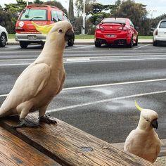 Great Ocean Road Pt. 4: Lorne.  #australia #victoria #lorne #breakfast #cockatoo #greatoceanroad #autumn #bird #cafe #visitor by mattjeffray http://ift.tt/1IIGiLS