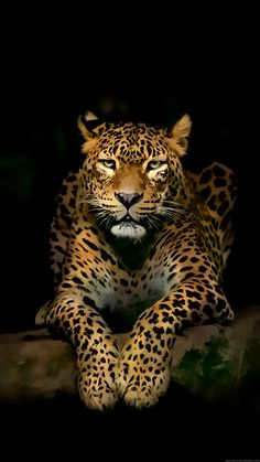 74 Feline Wallpapers Wallpapers available. Share Feline Wallpapers with your friends. Submit more Feline Wallpapers Jaguar Wallpaper, Wild Animal Wallpaper, Leopard Wallpaper, Tiger Wallpaper, Black Wallpaper, Nature Wallpaper, Nature Animals, Animals And Pets, Cute Animals