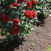 How to Plant Rose Cuttings | eHow