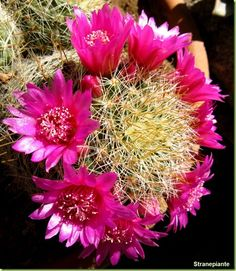 Mammillaria zeilmanniana - Foto fiori cactus flowers