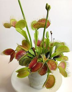 Venus Flytraps are very easy to grow. The more light they get, the more colorful they become. The less light, the less color, but they grow bigger. Peat moss, distilled water and warm temps are all that are needed. www.containerwatergardens.net/create-fascinating-carnivorous-terrarium/ #uniquehouseplants