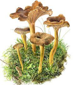 suppilovahvero - Google Search Fungi, Berries, Stuffed Mushrooms, Takana, Decor, Google Search, Tattoos, Tips, Nature