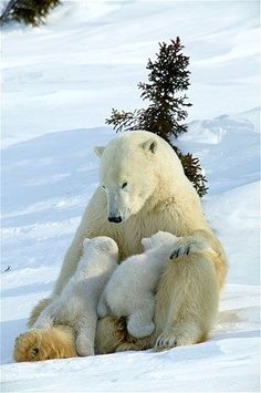 Cute Animals Polar Bears Cute Polar Bear Cub Pics Baby Animal - Polar Bear Pics Animals Innocent Love Polar Bear Cubs Picture Funny P. Animals And Pets, Baby Animals, Cute Animals, Wild Animals, Animals With Their Babies, Funny Animals, Beautiful Creatures, Animals Beautiful, Animal Pictures